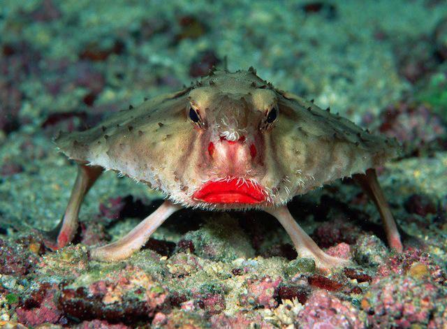 bizredlippedbatfish