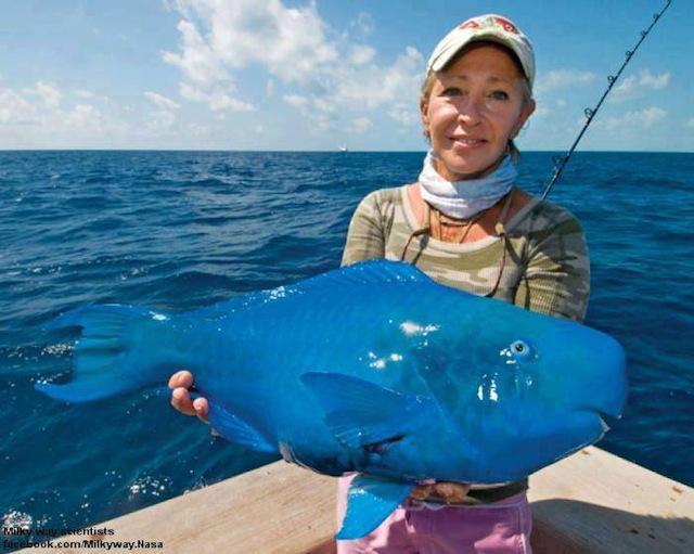 biztheblueparrotfish