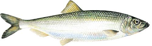 sill500-svenskfisk